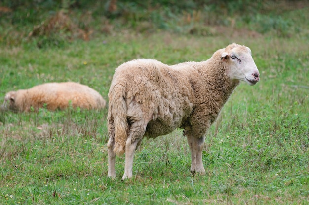 緑の草の牧草地の羊のグループ。羊の群れ。