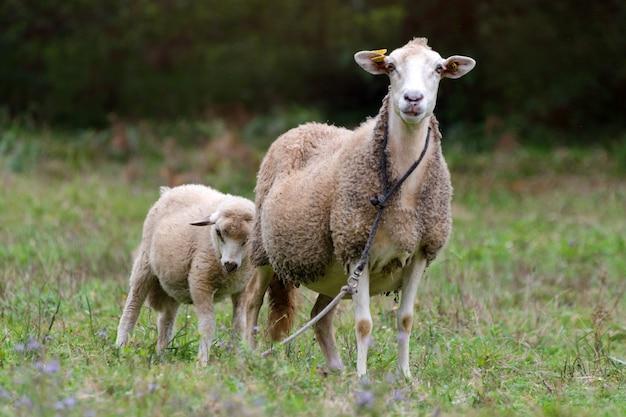 羊グループと緑の草の牧草地の子羊。羊の群れ。
