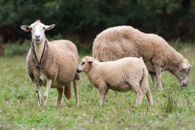 羊グループと緑の草の牧草地の子羊。羊の群れ。農村生活のコンセプトです。羊は自然の中で放牧しています。