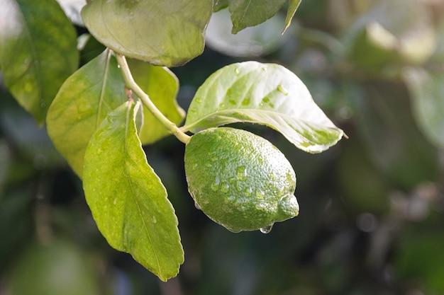 熟成フルーツレモンツリーをクローズアップ。有機性庭の木の枝に掛かっている水滴と新鮮なグリーンレモンライム