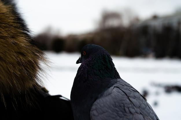 Много голубей. голуби в пучке и по одному. кормление голубей. птицы зимой. голубь макро, красная лапа, голубиная нога. мужчина держит голубя на руке. птица ест рукой