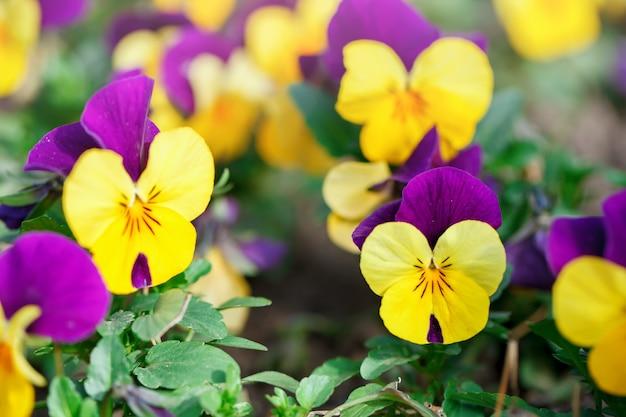 Цветы анютины глазки яркие весенние цвета на фоне пышной зеленой. макро образы. выборочный фокус.