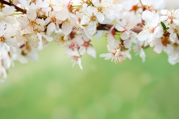 Красивые цветущие яблони в саду весной. закройте