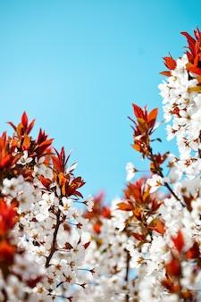 Дерево вишневого цвета весной с красивыми цветками. садоводство. выборочный фокус.