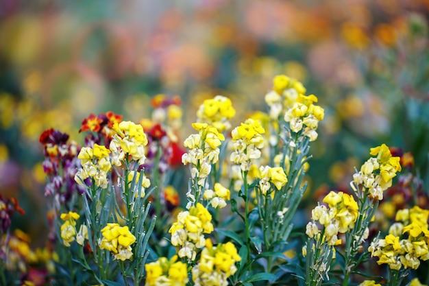 Красивые разноцветные цветы в саду. цветочный фон садоводство.