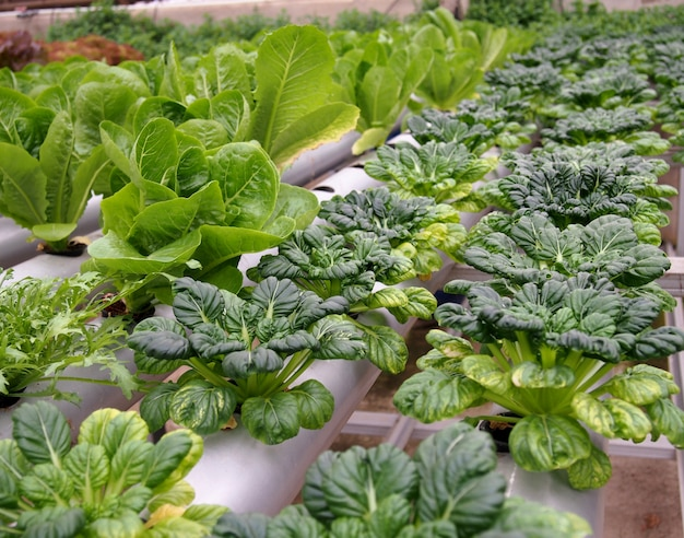 水耕栽培のポットで栽培された新鮮な緑のタソイ野菜。