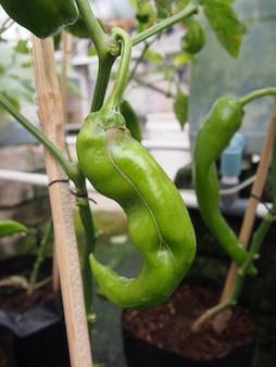 水耕栽培のポットで新鮮なチリ植物