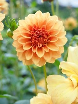 緑の農場でダリアの花の美しさ。