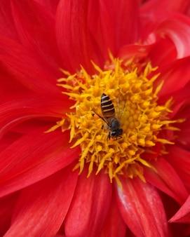 赤いヒナギクの美しさ。花の冠にとまるカブトムシ。