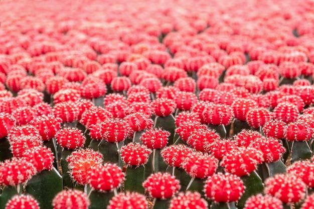 赤い花の多肉植物、サボテン、サボテン