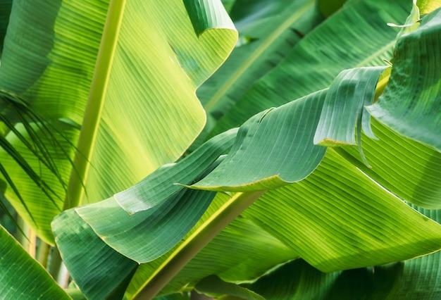 熱帯のバナナの葉のテクスチャー、大きなヤシの葉自然明るい緑の背景