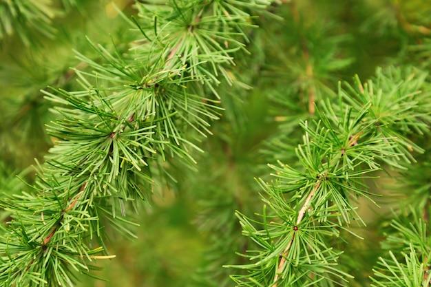 小さな緑の針で覆われた自然の緑の松の枝。