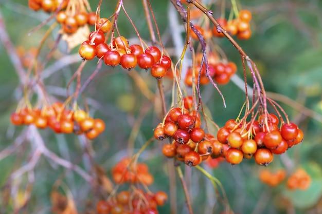Спелые плоды боярышника. букет из диких красных ягод на сухих ветвях. выращивание ягод. осенняя природа