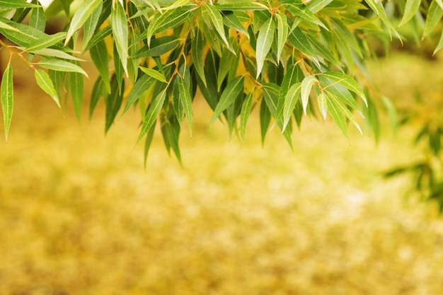 秋の黄色と緑の葉の柳。自然の秋