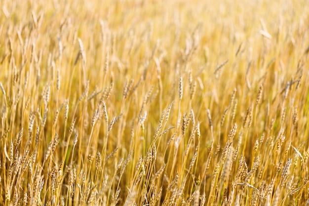 秋の小麦畑。田園風景。フィールドで熟した小麦。日光の穀物。豊富な収穫のコンセプト。