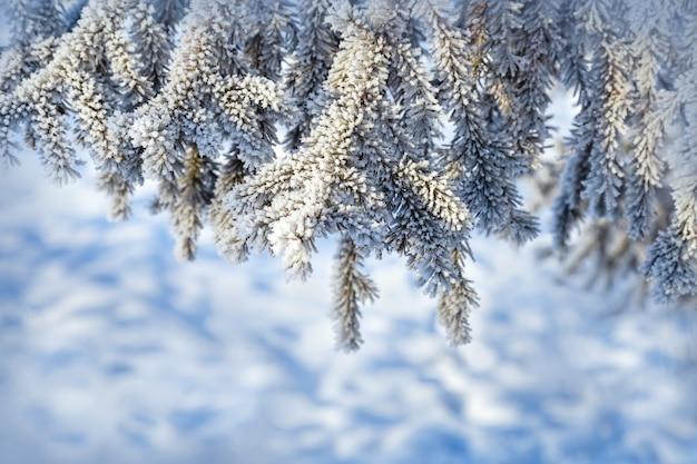 モミの木の枝を白い霜と雪で覆われたクローズアップ