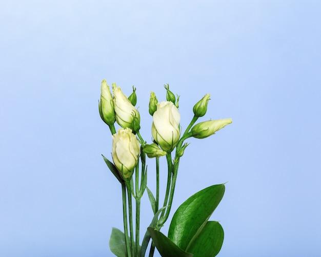 明るい青の背景に白の咲くトルコギキョウの花。