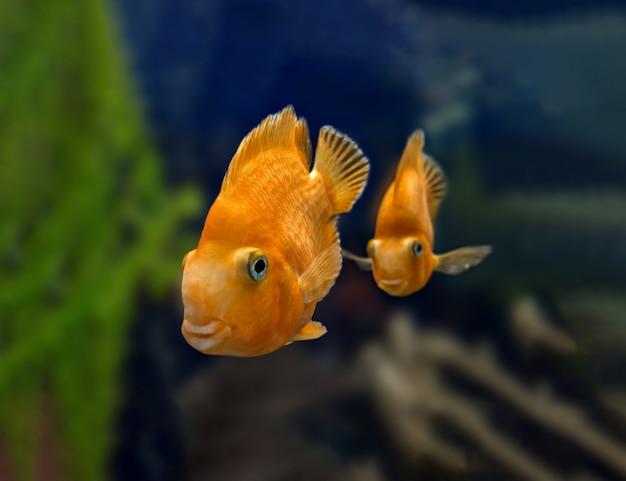 水族館で赤いオウムシクリッド魚