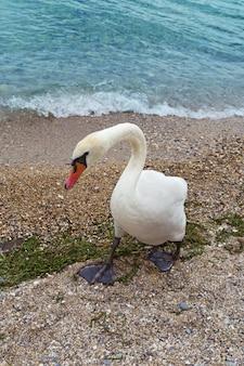 ホワイトスワンは海岸に沿って歩いています。ガルダ湖のほとりに野生の白鳥鳥のクローズアップ
