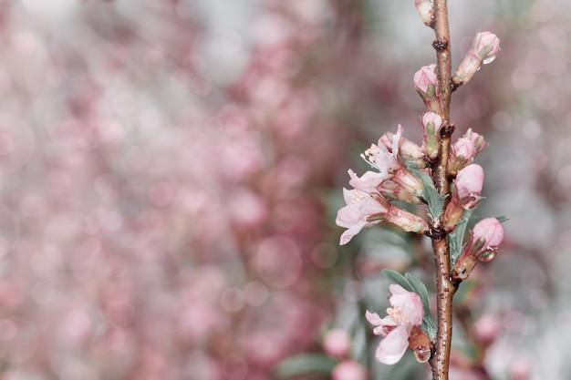 Весенние цветы. весенний фон. цветы вишни в природе с лучами солнца. копировать пространство выборочный фокус.