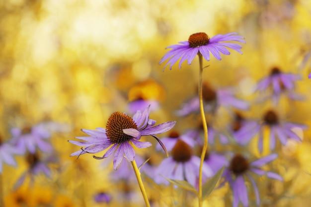 Естественный цветочный фон. садовые сиреневые цветы на фоне затуманенное золотом солнечном. цветочный яркий фон с солнечными лучами. копировать пространство