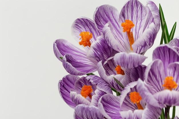 コピースペースと明るい背景に明るい色に咲く美しいクロッカスの花。はがき用の穏やかな春の花びらを閉じます。セレクティブフォーカス。
