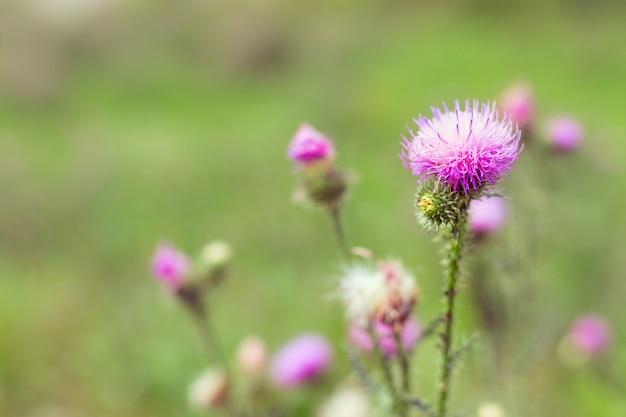 ウチワサボテンはゴボウです。森の花とぼやけて背景の自然な背景。