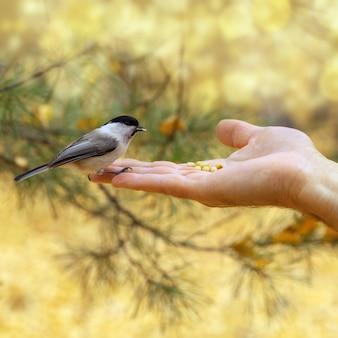 小さな勇敢なシジュウカラは人の腕に座っています。男は森の鳥をフィードします。