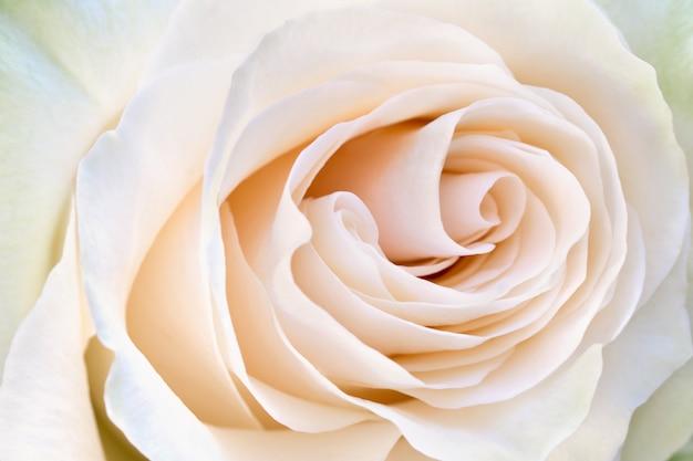 花びらクリーム色のバラのクローズアップ。やわらかさ咲くバラの花。