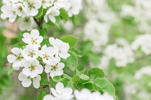 Цветущая яблоня с белыми цветами. натуральный цветочный с копией пространства. весенние цветущие сады.