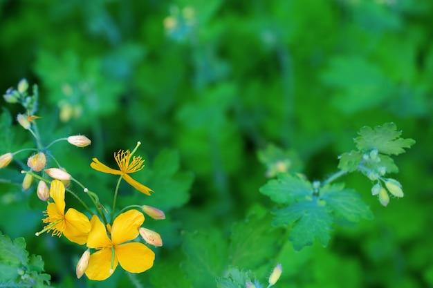緑の背景をぼかしにクサノオウの明るい黄色の花。自然の花の背景。テキストの無料の場所でコピースペース付きグリーティングカード。従来のフラワーデザイン。