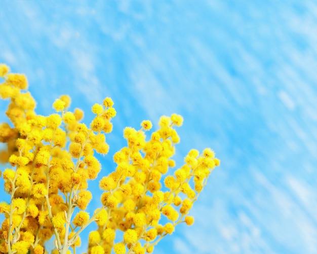 青色の背景に咲くミモザ春の花。黄色のミモザの枝はコピースペースでクローズアップ。セレクティブフォーカス。