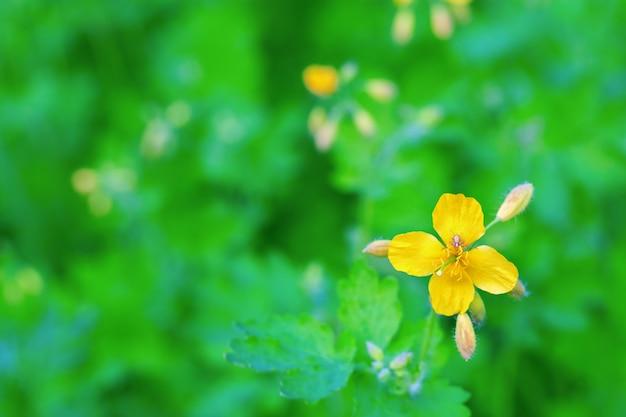 ぼやけた緑の自然にクサノオウの鮮やかな黄色の花。テキストの無料の場所でコピースペース付きグリーティングカード。従来のフラワーデザイン。