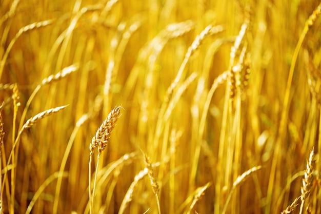 Поле пшеницы на осень. сельский пейзаж. богатая концепция урожая