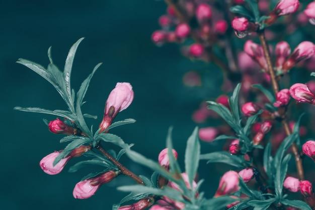 Цветение дерева с маленькие розовые цветы и капли дождя на темном фоне природы. скромный стиль в тонах. выборочный фокус.