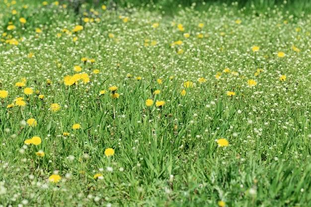 草原の草、明るい黄色のタンポポと白い花のある緑の春の芝生。花の背景。