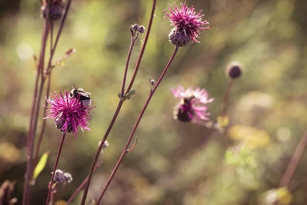 とげのある雑草はごぼうです。森の花とぼやけて背景の自然の花の背景。トーンのイメージ。