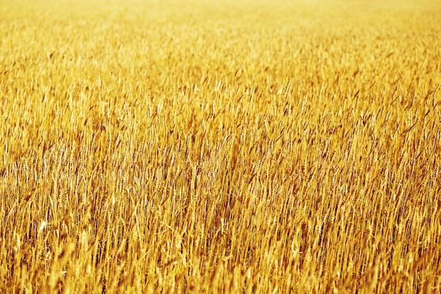 日没の牧草地の麦畑の熟した耳の背景