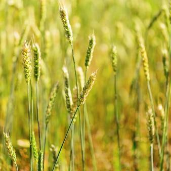 小麦畑。小麦の新鮮な作物。セレクティブフォーカス