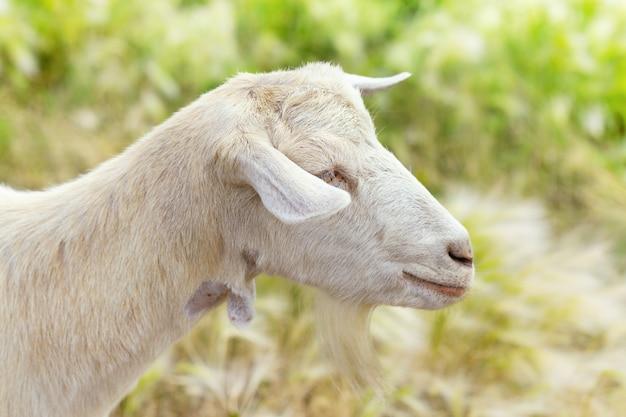 ぼやけている草の背景に白いヤギの側面図のクローズアップ。セレクティブフォーカス
