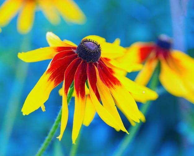 Красный и желтый цветок рудбекия крупным планом