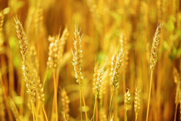 小麦の穂がぼやけているフィールドにクローズアップ