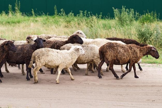 グループの羊は牧草地に行きます。