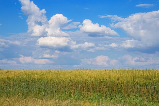 雲と青い空の下の麦畑。田園風景です。植物が成長しています。