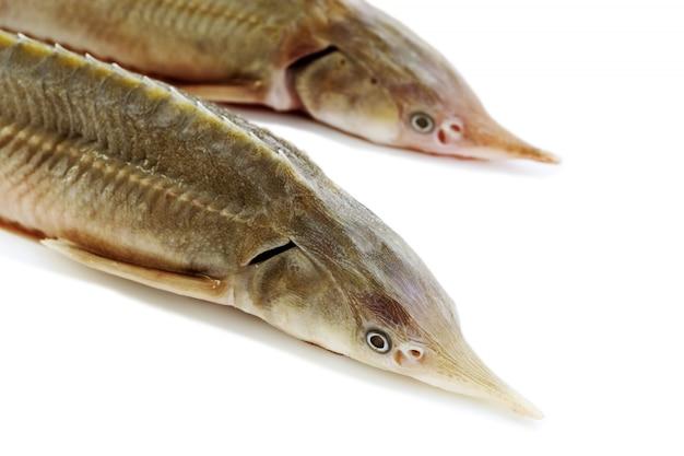 白で隔離される新鮮な魚のヒレ
