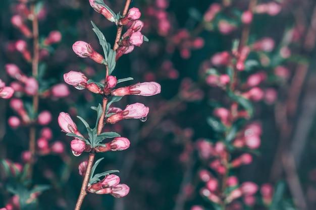 春のピンクの花と暗闇の中で露の枝
