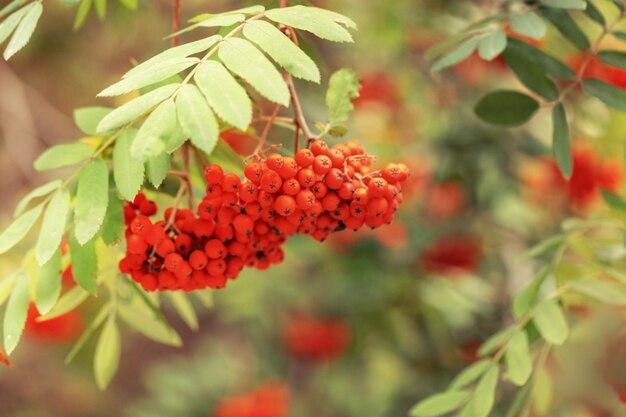 Осенний пейзаж с ягодами рябины на ветке.