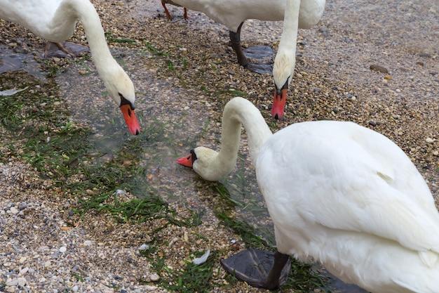 白鳥はシルミオーネの町のガルダ湖の小石のビーチで水を飲む