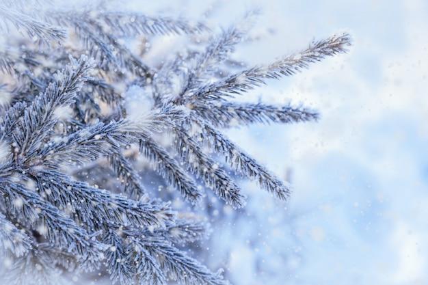 Зимний естественный фон голубых еловых веток