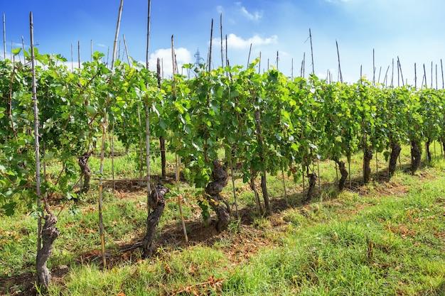 緑のブドウの栽培。ランゲ地方。